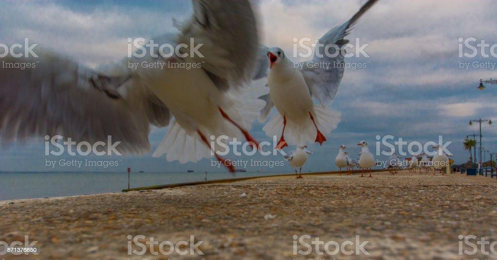 Seagulls Squabble for food stock photo