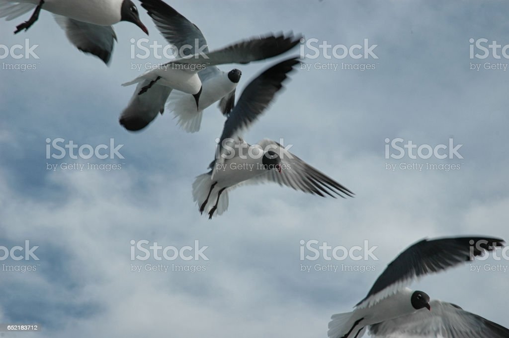 Seagulls suspended in mid-air. stock photo