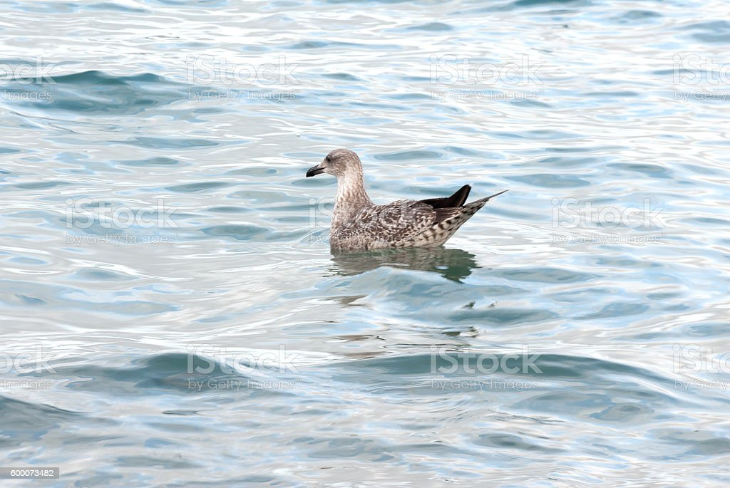 Seagulls swimming in the waves stock photo