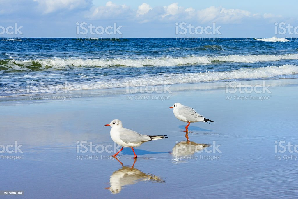 Seagulls walking on the wet sand on the background of – Foto