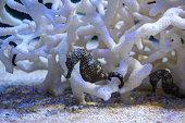 Seahorse, Hippocampus swimming in aquarium