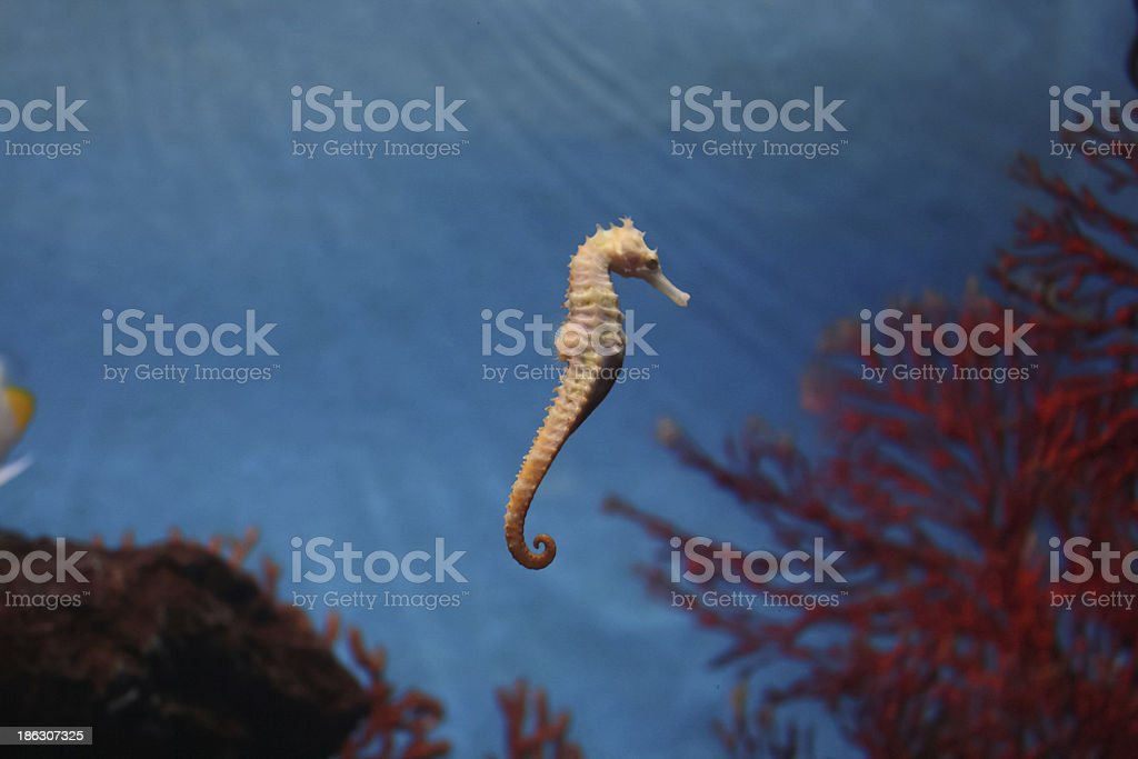 seahorse in water stock photo