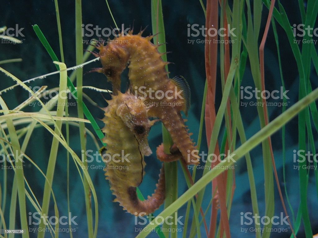 seahorses stock photo