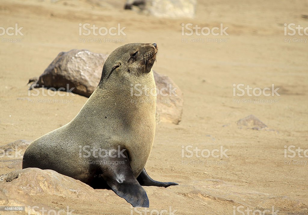 Seal at Cape Cross Reserve. Namibia royalty-free stock photo