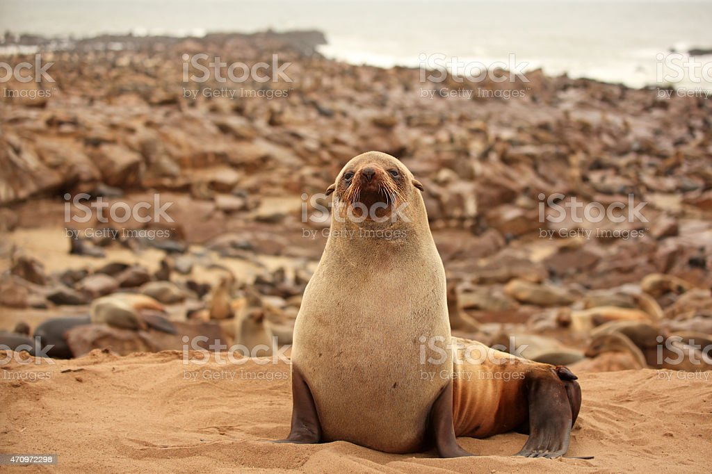 Seal at Cape Cross Seal Colony in Namibia stock photo