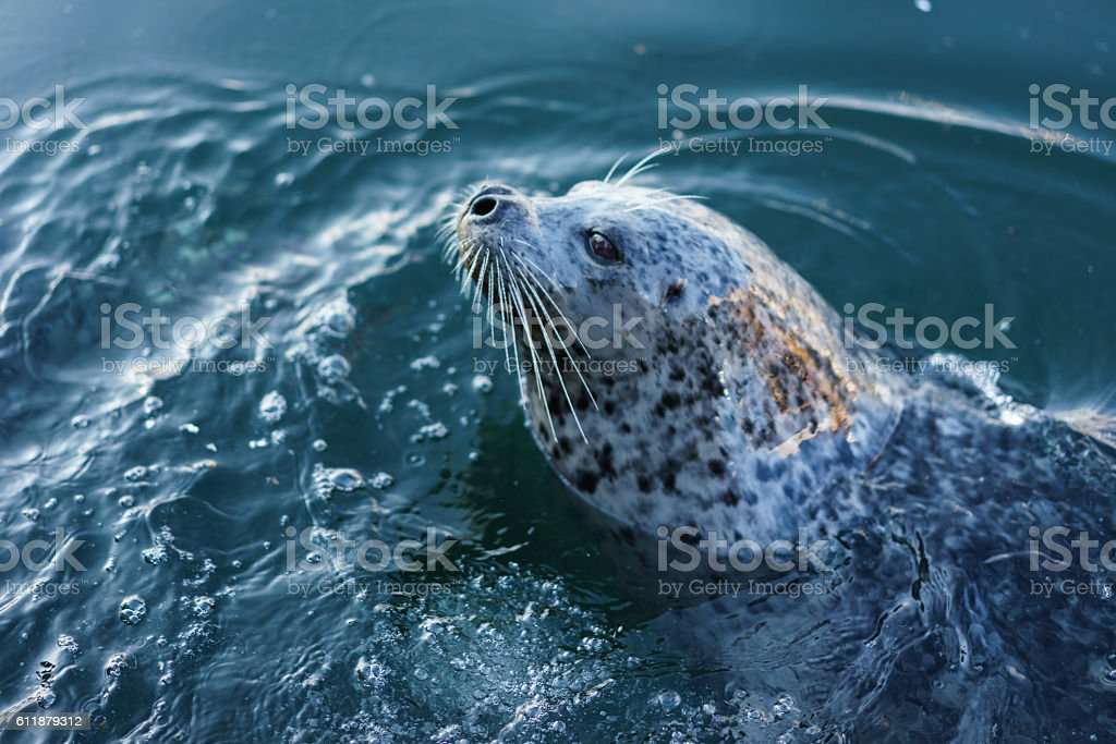 Seal at Fisherman's Wharf, Victoria, BC stock photo