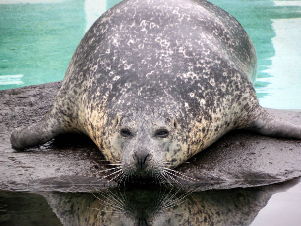 Seal at Husdyragardurinn, Reykjavík Park and Zoo stock photo
