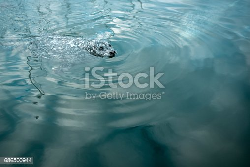 A seal waits for fish at the Inner Harbour on the Pacific Ocean in Victoria, BC.