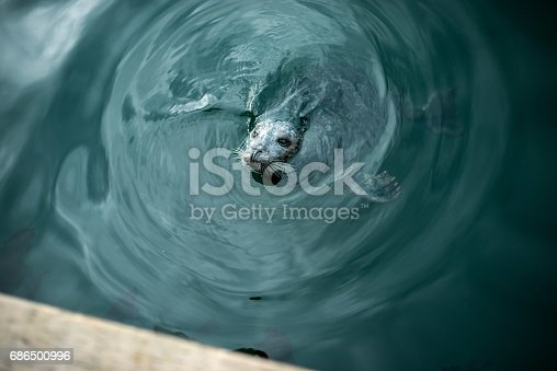 A seal waits for a fish at the Inner Harbour on the Pacific Ocean in Victoria, BC.