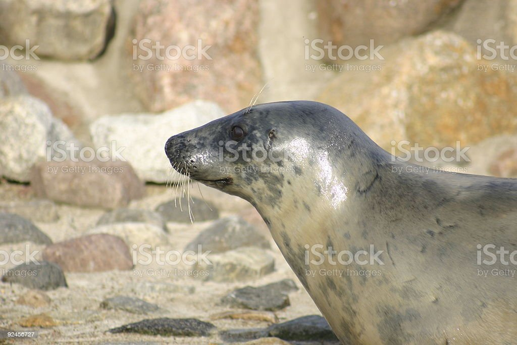 seal awaiting lunch stock photo