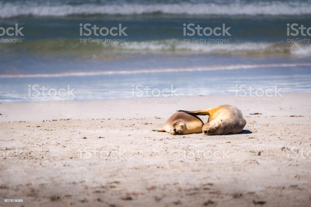 Seal Bay Kangaroo Island, seal having a cuddle on beach stock photo