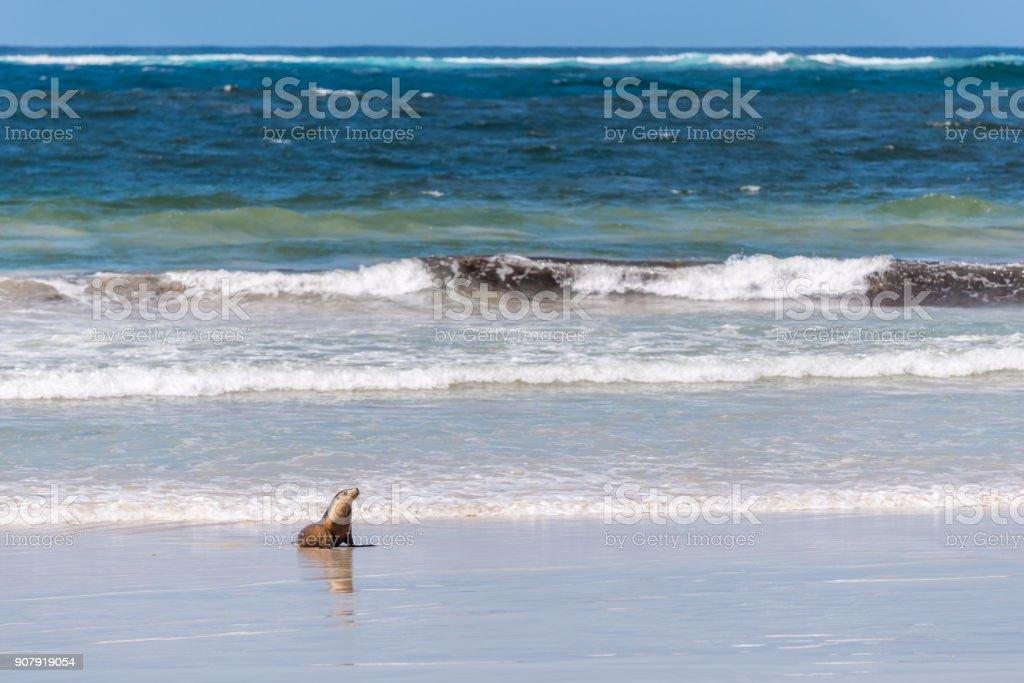 Seal Bay Kangaroo Island, seal in the water at beach stock photo