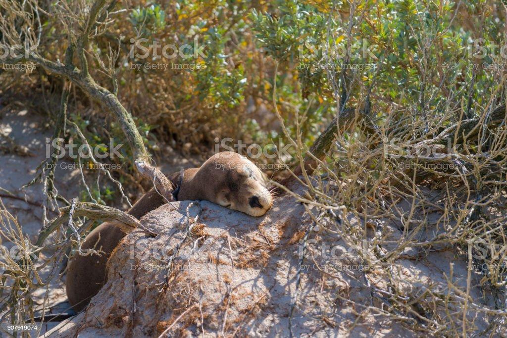 Seal Bay Kangaroo Island, seal sleeping in bush stock photo