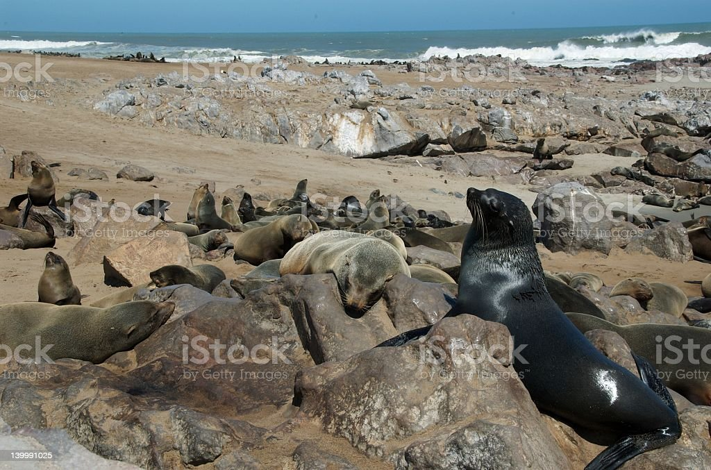 Seal colony at the beach royalty-free stock photo