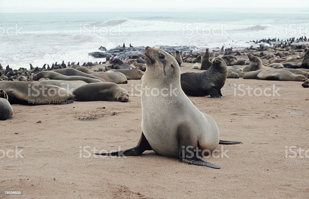 Seal colony royalty-free stock photo