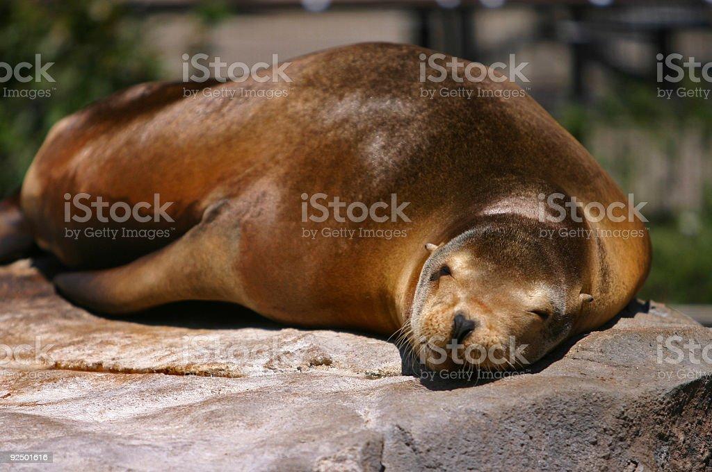 Seal Dreams royalty-free stock photo