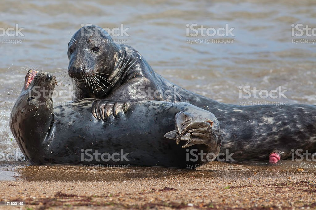 Seal Foreplay royalty-free stock photo