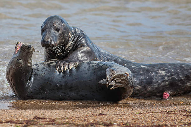 Seal Foreplay stock photo