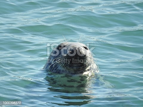 Seal peeping out of the Irish Sea at Skerries Harbour, Dublin, Ireland