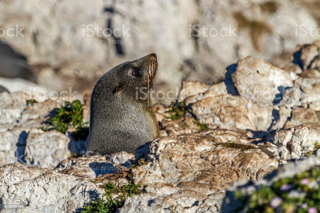 Seal in Kaikoura stock photo