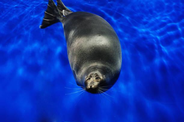 Seal (Nerpa) in Lake Baikal – Foto