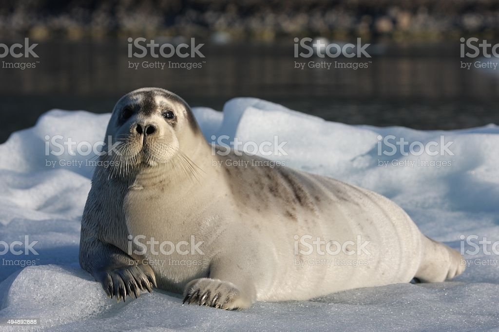 Seal in Spitzbergen stock photo