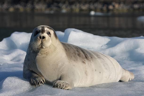 Seal in Islands – Foto