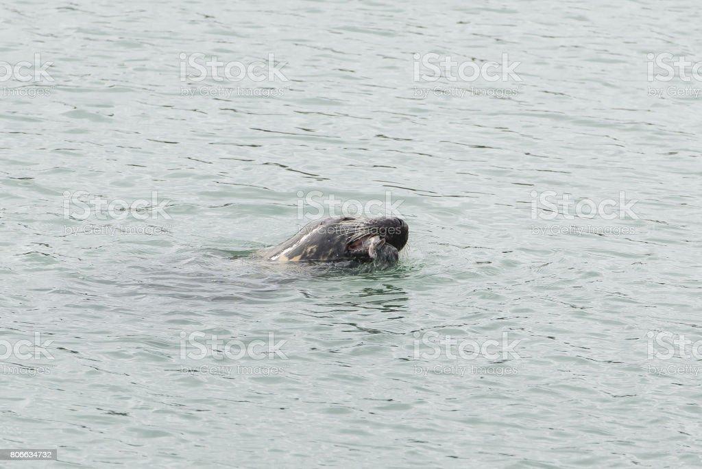 Seal in the sea stock photo