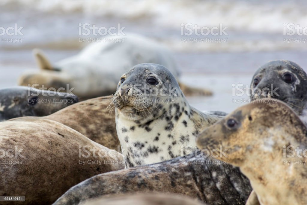 Seal in wild grey seal colony stock photo