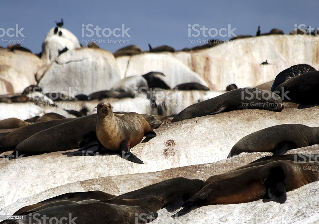 Seal Island Seal Island, South Africa. Animal Stock Photo