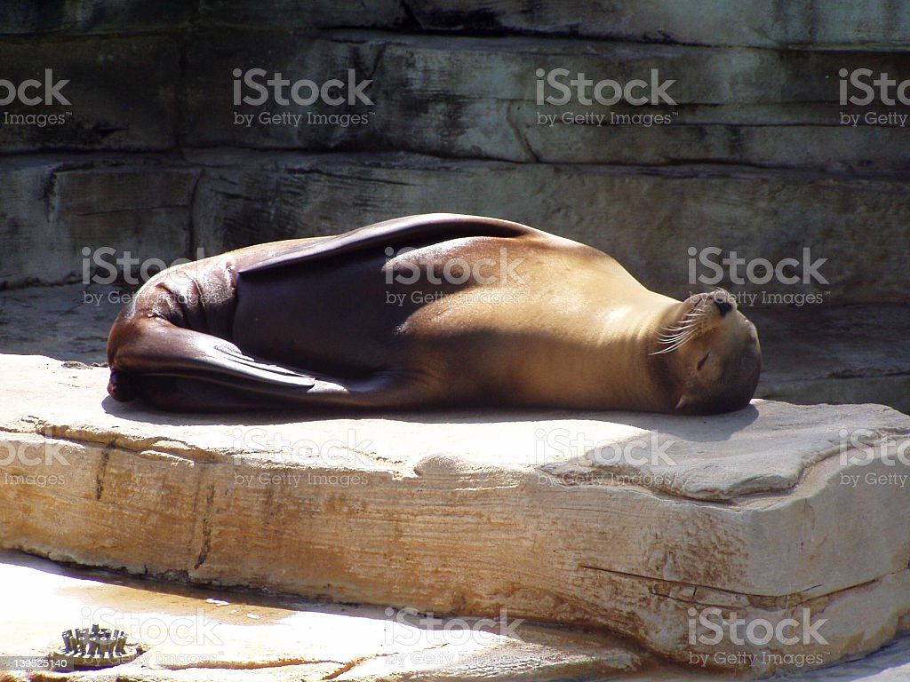 Seal laying out stock photo