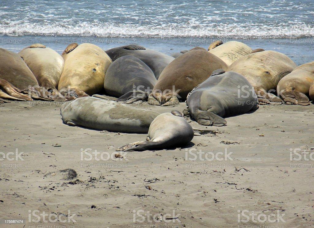 Seal Lineup royalty-free stock photo