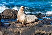 A sea lion sits on the rocks in La Jolla Cove, California.