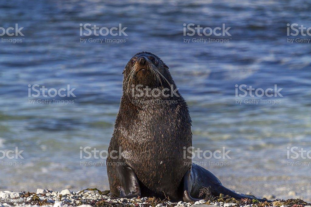 Seal looking at camera stock photo