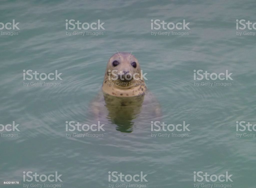 A seal looking out of the north sea stock photo