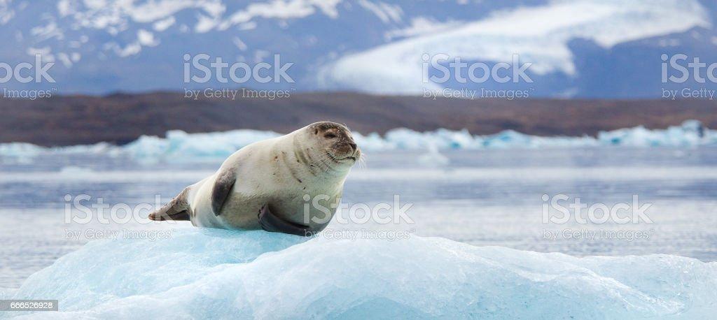 Seal on an Iceberg stock photo