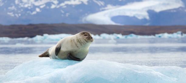 Cтоковое фото Seal on an Iceberg