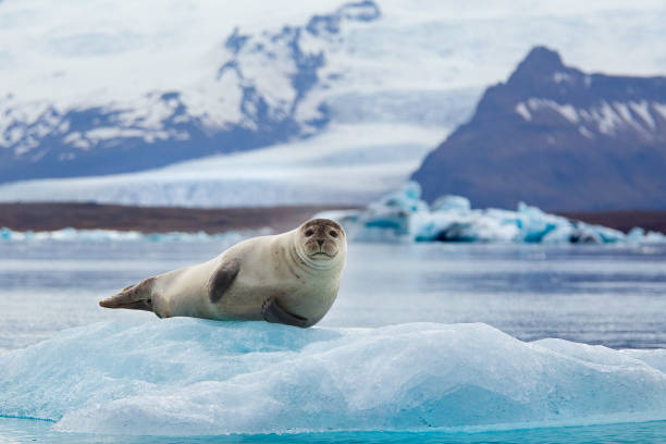 Seal on an Iceberg Seal resting on an Iceberg in Iceland's Jokulsarlon jokulsarlon stock pictures, royalty-free photos & images