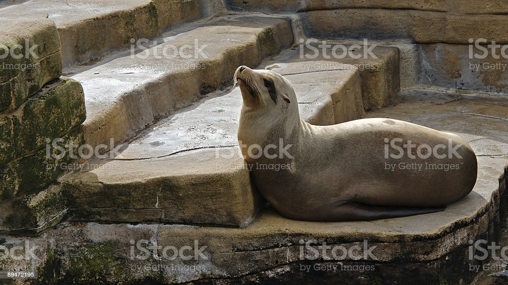Seal on the stairs royalty-free stock photo