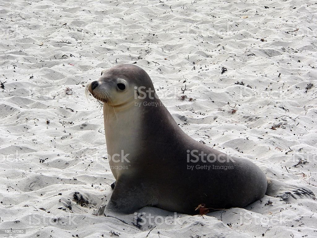 seal  or sealion royalty-free stock photo