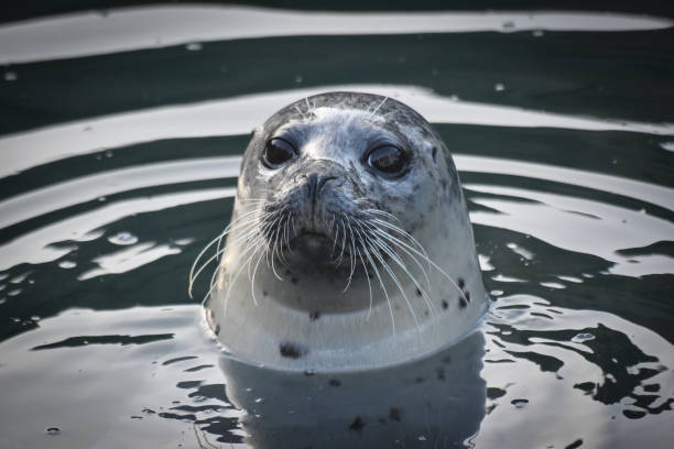 Seal Seal seal pup stock pictures, royalty-free photos & images