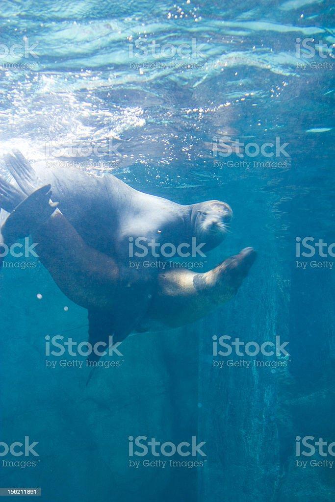 Seal (perceive) stock photo