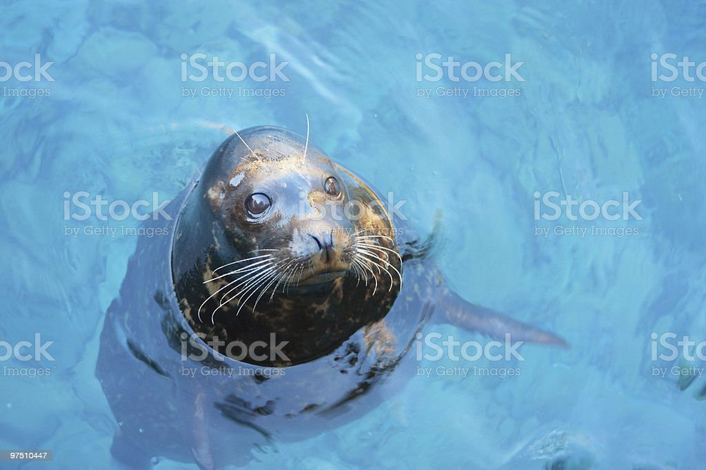 Seal royalty-free stock photo