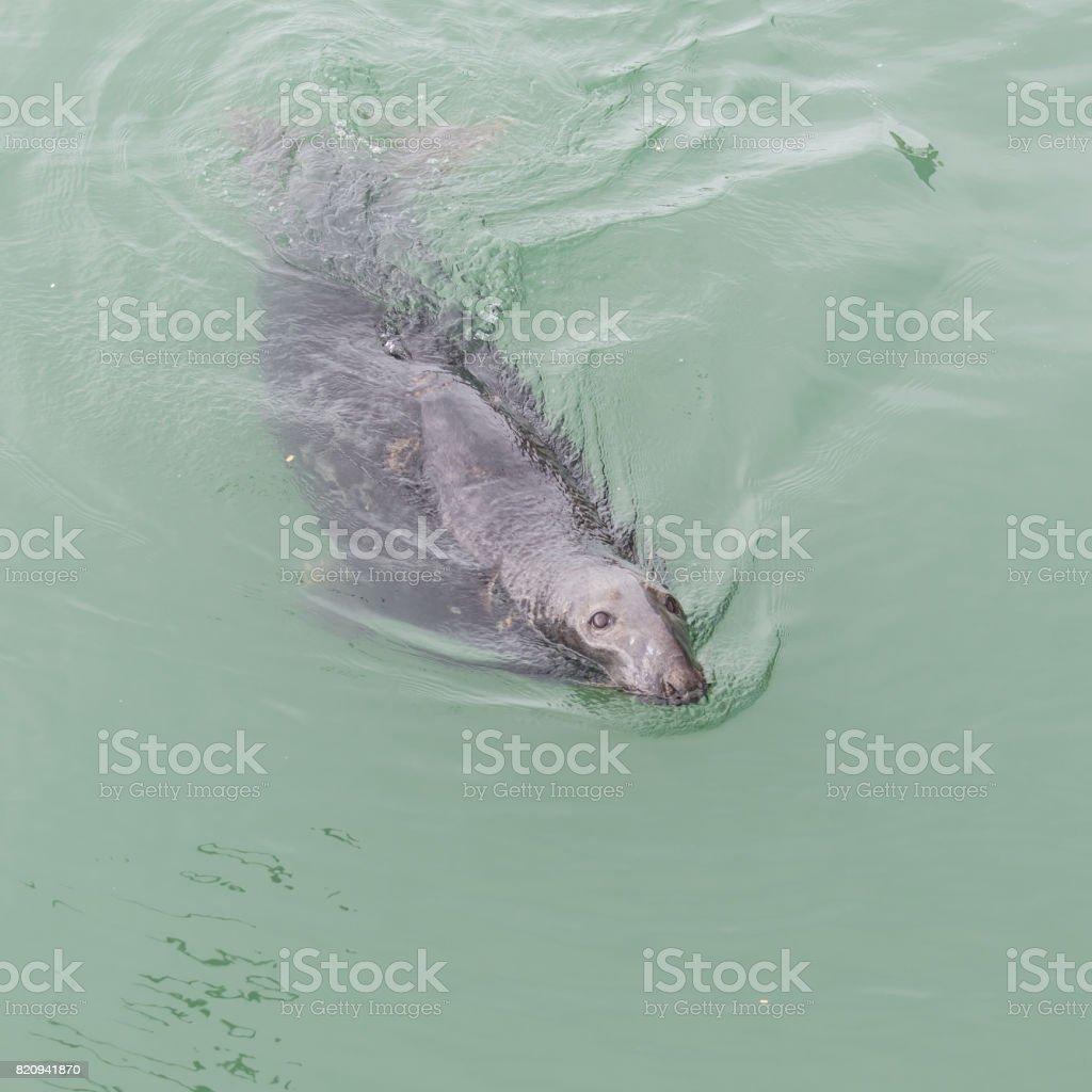 Seal, pinniped in the sea stock photo