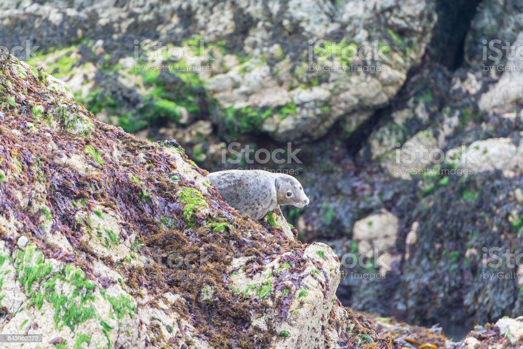 Seal, pinniped lying stock photo