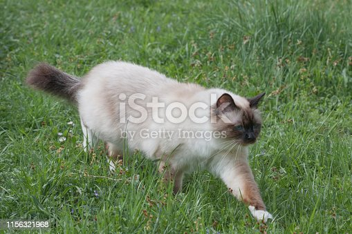 A seal point Birman cat, 1 year old cat , male with blue eyes is walking  in garden