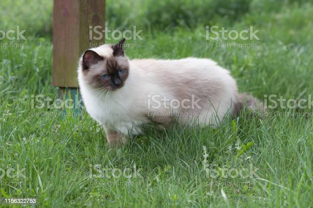 Seal point birman cat 1 year old cat male with blue eyes is walking picture id1156322753?b=1&k=6&m=1156322753&s=612x612&h=k5582g92yabe9k0tcrfxs23utoaoqgog0ezy5jys9yk=