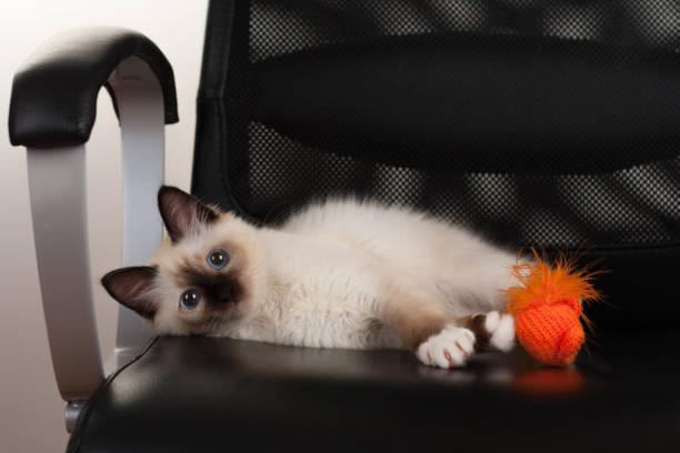 Seal point birman cat 4 month old kitten male picture id802693434?b=1&k=6&m=802693434&s=612x612&w=0&h=cy1tboaerzdlyzezmv0dkkjguwxgjsxhlyquu4tb13a=