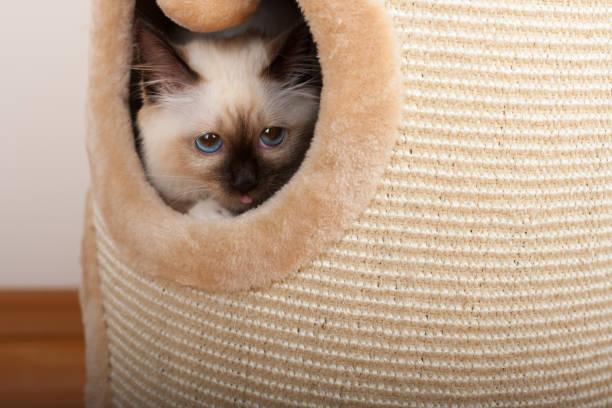 Seal point birman cat 4 month old kitten male picture id802701758?b=1&k=6&m=802701758&s=612x612&w=0&h=7dxvjcqwaz2zfeg6zz60bkbys26pccrujzwq c6xi q=
