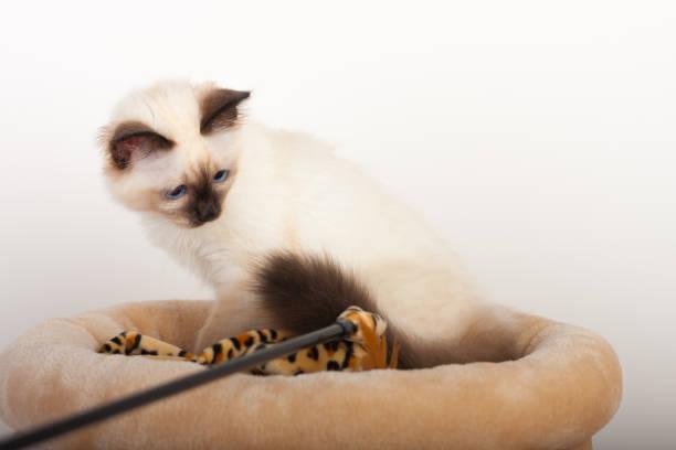 Seal point birman cat 4 month old kitten male picture id802706180?b=1&k=6&m=802706180&s=612x612&w=0&h=5qjfwfxg3ten3qpe2o2zdm9s2wtegwwdael 7oxl9u8=